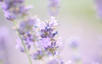 lavender 1889141 1280 petite