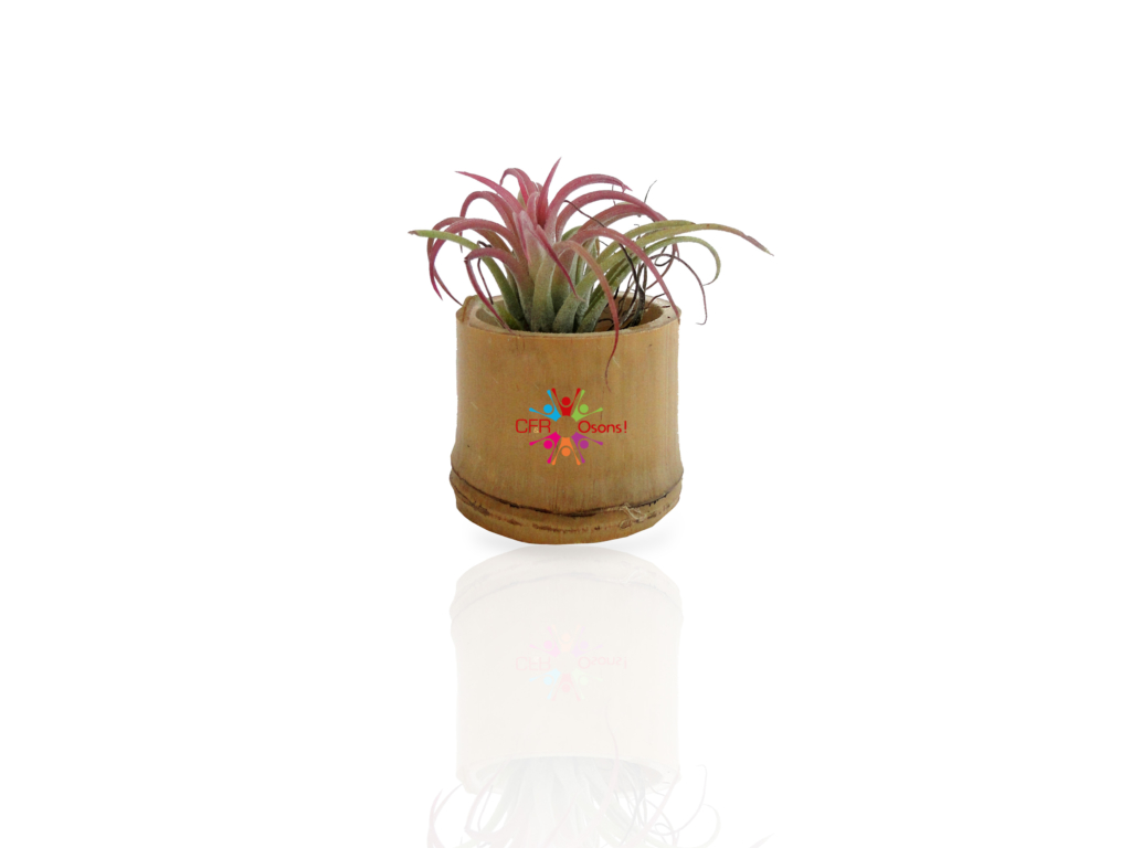 plante d co d polluante tillandsia id es nature. Black Bedroom Furniture Sets. Home Design Ideas