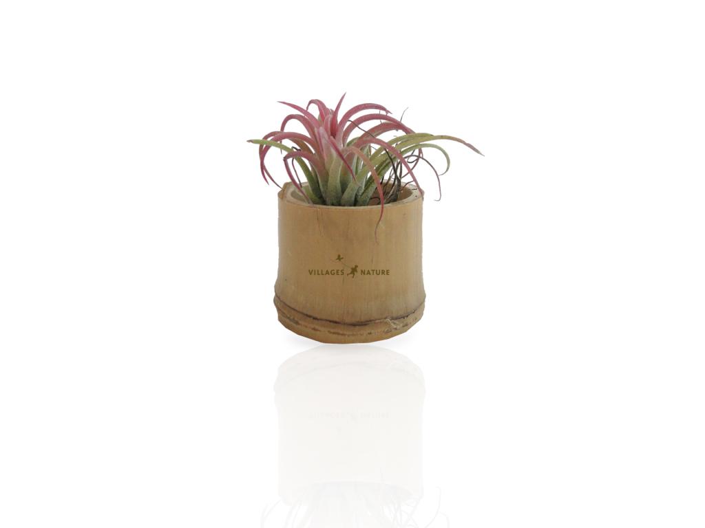 Plante d co d polluante tillandsia id es nature for Plante deco